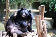 Ein asiatischer schwarzer Bär, der in der hölzernen Plattform sitzt lizenzfreie stockfotografie