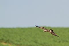 Ein aufgeladener Adler, der in einem blauen Himmel schwebt Stockbild