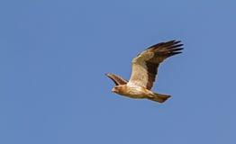 Ein aufgeladener Adler, der in einem blauen Himmel schwebt Stockfotografie