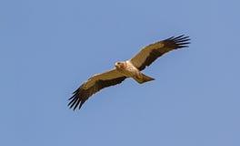 Ein aufgeladener Adler, der in einem blauen Himmel schwebt Stockbilder