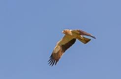 Ein aufgeladener Adler, der in einem blauen Himmel schwebt Lizenzfreie Stockfotografie