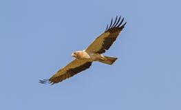 Ein aufgeladener Adler, der in einem blauen Himmel schwebt Lizenzfreie Stockfotos