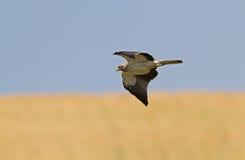 Ein aufgeladener Adler, der in einem blauen Himmel schwebt Lizenzfreie Stockbilder