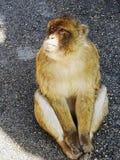 Ein aufpassendes Leuteüberschreiten des Affen Lizenzfreies Stockbild