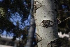 Ein Auge des Baums Lizenzfreies Stockbild