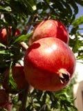 Ein ausgereifter Granatapfel Stockfotos