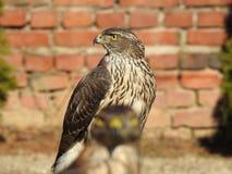 Ein ausgezeichneter Anblick eines Falken, der begeistert seinen Flug erwartet stockfoto