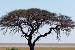 Ein ausgezeichneter Kameldornenbaum steht auf der Savanne von Etosha lizenzfreies stockfoto