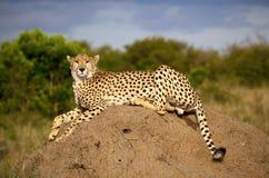 Ein ausgezeichneter männlicher Gepard sitzt auf einem Termitenhügel in Kenia Stockfotos
