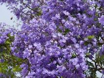 Ein australischer lila Jacarandra-Baum Stockbild