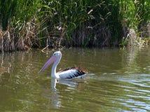 Ein australischer Pelikan Stockfotos