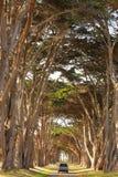 Ein Auto, das durch einen Zypressenbaumtunnel läuft Stockfotos