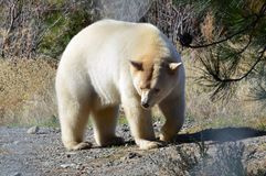 Ein Bär des Geist-(Kermode) lizenzfreie stockfotos