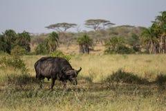 Ein Büffel, der nach Lebensmittel sucht Stockfotografie
