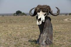 Ein Büffelschädel auf Steuerknüppeln Stockfotografie