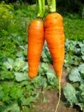 Ein Bündel ausgezogene Karotten Stockfotografie