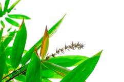 Ein Bündel Bambus verlässt mit seiner Trockenblume, die auf weißem Hintergrund lokalisiert wird stockfotos