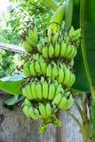Ein Bündel Bananen Stockfoto