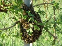 Ein Bündel Bienen Lizenzfreie Stockfotos