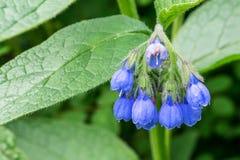 Ein Bündel blaue oder purpurrote Blumen in Form einer Glocke In den Hintergrundgrünblättern Lizenzfreie Stockfotografie