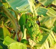 Ein Bündel der Banane trägt Früchte, hängend von einer Bananenstaude - Musa Balbisiana, Kerala, Indien Stockbild