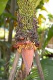 Ein Bündel der Bananen-Blume Stockfotografie