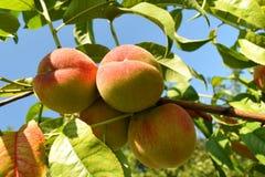 Ein Bündel des Pfirsiches Lizenzfreie Stockbilder
