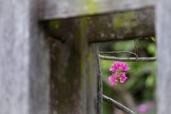 Ein Bündel des rosa Bouganvillas aus Fenster heraus Lizenzfreie Stockfotografie