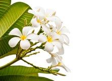 Weiße Frangipani-Blume Lizenzfreie Stockbilder