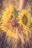 Ein Bündel des Weizens und der Sonnenblume in den Händen eines Mädchens Lizenzfreies Stockfoto