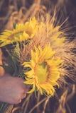Ein Bündel des Weizens und der Sonnenblume in den Händen eines Mädchens Lizenzfreies Stockbild