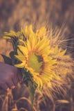 Ein Bündel des Weizens und der Sonnenblume in den Händen eines Mädchens Lizenzfreie Stockbilder