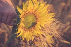Ein Bündel des Weizens und der Sonnenblume in den Händen eines Mädchens Stockbild