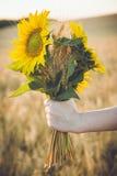 Ein Bündel des Weizens und der Sonnenblume in den Händen eines Mädchens Stockfoto