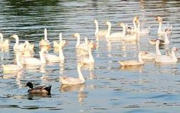 Ein Bündel Enten Stockbilder