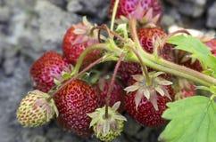 Ein Bündel Erdbeeren Lizenzfreie Stockbilder