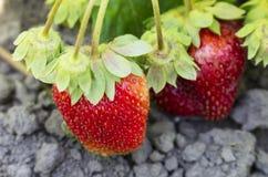 Ein Bündel Erdbeeren Lizenzfreies Stockbild