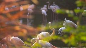 Ein Bündel Flamingovögel, die den Verschlusspfropfen säubern stock footage