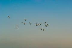 Ein Bündel fliegende und stillstehende Flamingos Lizenzfreie Stockbilder