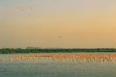 Ein Bündel fliegende und stillstehende Flamingos stockfotos