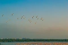 Ein Bündel fliegende und stillstehende Flamingos Stockfoto