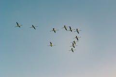 Ein Bündel fliegende und stillstehende Flamingos Lizenzfreies Stockfoto