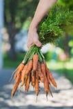Ein Bündel frische Karotten mit Grüns in Landwirt ` s Hand lizenzfreie stockfotos