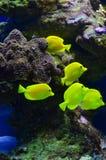 Ein Bündel gelbe Fische schwimmt nahe Steinen und Algen Lizenzfreie Stockbilder