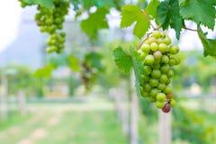Ein Bündel grüne Trauben für Weinproduktion in Thailand Lizenzfreie Stockfotos