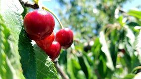Ein Bündel köstliche saftige reife rote Kirschen auf einem Baum in einem Obstgarten Lizenzfreies Stockfoto