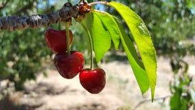 Ein Bündel köstliche saftige reife rote Kirschen auf einem Baum in einem Obstgarten Lizenzfreies Stockbild