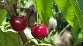 Ein Bündel köstliche saftige reife rote Kirschen auf einem Baum in einem Obstgarten Stockbild