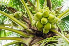 Ein Bündel Kokosnüsse auf dem Kokosnussbaum Lizenzfreie Stockbilder