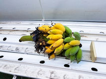 Ein Bündel reife Bananen werden gebissen Lizenzfreies Stockbild